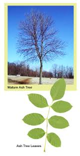 Heritage Lawn And Landscape by Heritage Lawn And Landscape Eab Protect Your Ash Trees