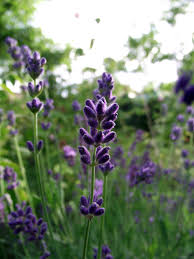 Most Fragrant Lavender Plant The Herb Gardener Understand The Different Types Of Lavender
