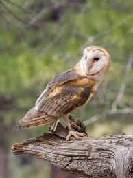 The Barn Owl Carol Stream Bend U2013 Oregon U2013 Mick Mac Travels