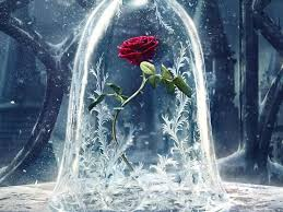 enchanted rose that lasts a year the beast s enchanted rose lasted a decade how long can a real