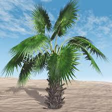 mexican fan palm tree 3d models bijan studio