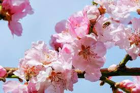 japanese blossom tree japanese cherry blossom tree for sale los