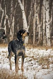 bluetick coonhound louisville ky new in the life of dikson pets pinterest vita