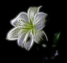 White Lily Flower Free Illustration White Lily Flower Nature Beauty Free