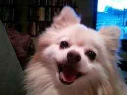 Comfort Retriever Puppies For Sale Comfort Retriever Breeders U2013 Dog