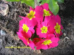 Pink Primrose Flower - 99 best think spring images on pinterest spring flowers and