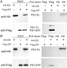 Anti Flag Affinity Gel Dominant Negative Effect Of The Loss Of Function γ Secretase