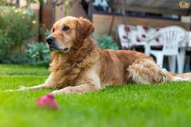 tips on how to keep a lawn looking good for dog owners pets4homes
