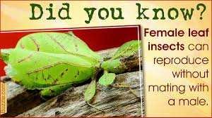 purely brilliant facts about leaf bugs