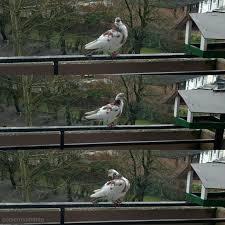 tauben auf dem balkon taube auf dem balkon