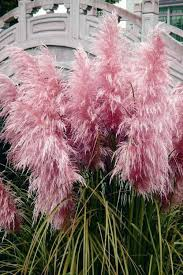buy pink feathers pas grass for sale from wilson bros