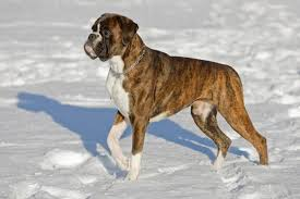 boxer dog howling boxer dog breed information pictures u0026 more