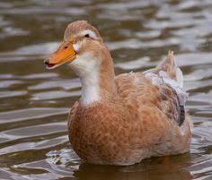 duck breeds stanbridge white duck breed cardinals birds