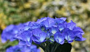 Blue Orchids Blue Orchids Free Image Peakpx
