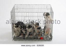 australian shepherd 7 weeks australian shepherd puppies 7 weeks in cage kennel stock photo