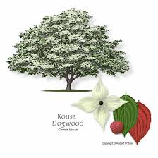 O Brien Landscaping by Images Of Kousa Dogwood Trees Kousa Dogwood Robert O U0027brien