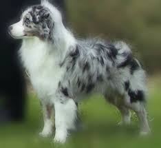 australian shepherd family dog best 25 aussie dogs ideas on pinterest mini aussie mini aussie