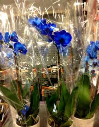 Blue Orchids Washington Cube Roses Are Blue Orchids Are Too
