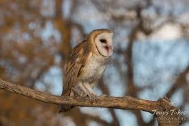 Barn Owl Photography Barn Owl Tony U0027s Takes Photography