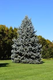 blue spruce trees everything about growing blue spruce tree blue spruce care