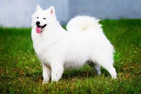 american eskimo dog training american eskimo dog breed info characteristics traits