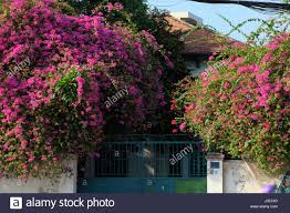 amazing house with bougainvillea flowers trellis in purple color