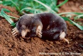 Moles Blind Mammals Of Washington Burke Museum
