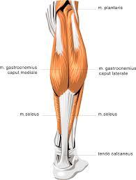 Human Anatomy Anterior Human Anatomy Muscle Anatomy Of The Lower Leg Anterior View