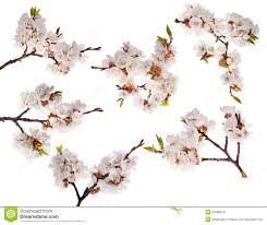 six cherry tree branches with lot of flowers stock image image