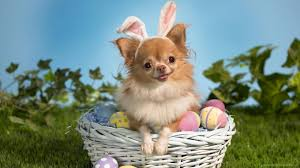 15 dogs who think they u0027re the easter bunny barkpost