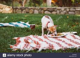 summer backyard bbq dog sneaks a plate to eat stock photo