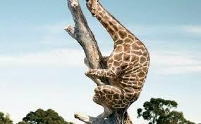 fact check tree top giraffe