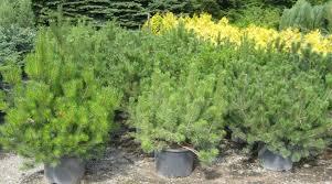 trees spruce bushes spruce juniper pine fir yew thuja