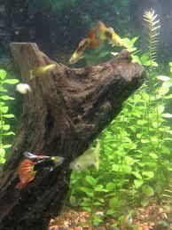 diary of a fish geek fancy guppy fry log