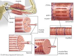 Bicep Innervation Muscle Britannica Com