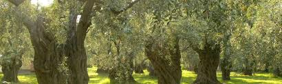 gospel doctrine lesson 13 the allegory of the olive tree book