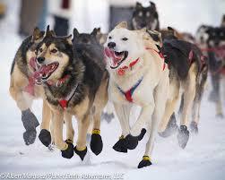 dog sledding in alaska u2014 planet earth adventures alaska guided