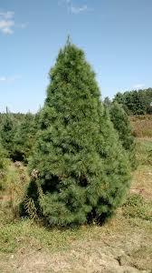 nursery trees to please llc premium quality christmas trees