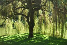 Tree File Bloedel Reserve Willow Tree Jpg Wikimedia Commons