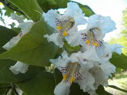 kansas native plant society catalpas blooming in kansas grimm u0027s gardens