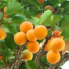 golden glow apricot tree buy self fertile apricot fruit trees