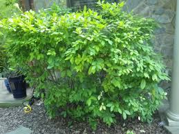 pruning native plants five favorite woody and perennial native plants
