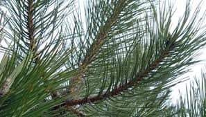 facts about pine needles sciencing