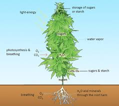 how much light do pot plants need absorption of water and nutrients by marijuana plants