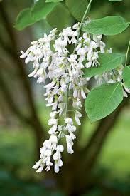 trees with white flowers best 20 white flowering trees ideas on no signup