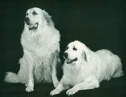 american eskimo dog rescue wichita ks great pyrenees history u0026 training temperament