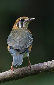 259 best bird song thrushes images on pinterest song thrush