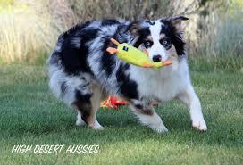 australian shepherd husky high desert aussies