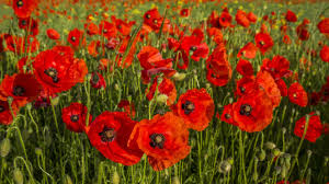 poppies flowers wallpaper 2560x1440 poppies flowers field grass mac