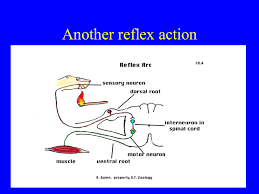 How Does A Reflex Arc Work In A Nervous System The Nervous System U0026 Sensitivity Presentation Health And Disease